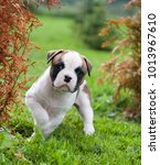 Small photo of Funny nice red white American Bulldog puppy is walking on the grass. Puppy's acquaintance with nature