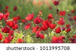 a spring bloom of  wild red... | Shutterstock . vector #1013995708