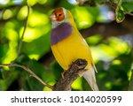 gouldian finch erythrura... | Shutterstock . vector #1014020599