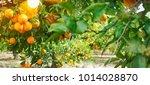 orange garden  summer background | Shutterstock . vector #1014028870