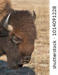 Small photo of Portrait Of American bison (Bison bison)