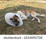 Small photo of Immoderate dog after castration lay on the grass with white collar