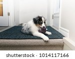 Stock photo eye level view of australian shepherd puppy looking guilty while chewing on a sock on a grey mat at 1014117166