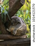 Small photo of A cutie koala bear enjoy sleeping on eucalyptus tree