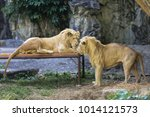 two male lions looking to the... | Shutterstock . vector #1014121573
