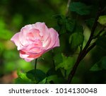 very gentle pink rose on a... | Shutterstock . vector #1014130048