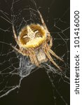 Small photo of Agalenatea redii / Orb web spider - close up