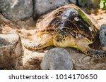 Sea Turtle On The Sea Beach...