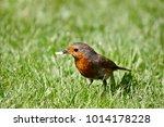 a robin erithacus rubecula... | Shutterstock . vector #1014178228