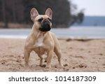 french bulldog posing outside   Shutterstock . vector #1014187309