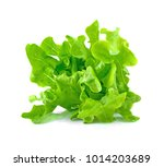 Green Oak Lettuce Isolated On ...