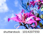 mountain ebony   orchid tree  ... | Shutterstock . vector #1014207550