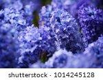 blue hyacinth flowers macro... | Shutterstock . vector #1014245128