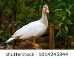 White Goose Closeup Photo