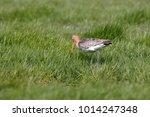 Black Tailed Godwit On Foraging