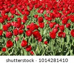 nice field with red tulips | Shutterstock . vector #1014281410