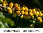 coffee beans on coffee tree  in ... | Shutterstock . vector #1014302290
