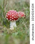 Small photo of Fly agaric, Amanita muscaria