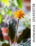 calathea crocata as home plant. ... | Shutterstock . vector #1014335728