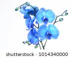 blue orchid on white background | Shutterstock . vector #1014340000