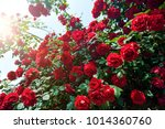 Stock photo red rose bush in the garden 1014360760