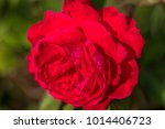 close up of a red rose. | Shutterstock . vector #1014406723