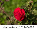 close up of a red rose. | Shutterstock . vector #1014406726