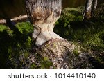 beavers building a dam in the... | Shutterstock . vector #1014410140