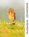 Small photo of Burrowing Owl, Athene cunicularia, night bird with beautiful evening sun, animal in the nature habitat, Mato Grosso, Pantanal, Brazil. Wildlife scene from nature.