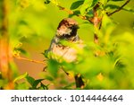 male or female house sparrow or ... | Shutterstock . vector #1014446464