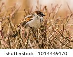 male or female house sparrow or ... | Shutterstock . vector #1014446470