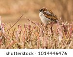 male or female house sparrow or ... | Shutterstock . vector #1014446476