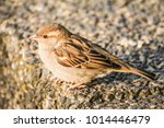 male or female house sparrow or ... | Shutterstock . vector #1014446479