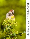 male or female house sparrow or ... | Shutterstock . vector #1014446488