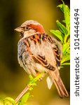 male or female house sparrow or ... | Shutterstock . vector #1014446494