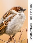 male or female house sparrow or ... | Shutterstock . vector #1014446509