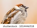 male or female house sparrow or ... | Shutterstock . vector #1014446518