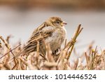 male or female house sparrow or ... | Shutterstock . vector #1014446524