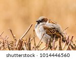 male or female house sparrow or ... | Shutterstock . vector #1014446560
