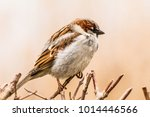 male or female house sparrow or ... | Shutterstock . vector #1014446566