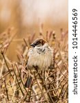 male or female house sparrow or ... | Shutterstock . vector #1014446569