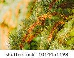 beautiful greenery as a... | Shutterstock . vector #1014451198