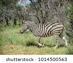 Zebra As Seen In Nature