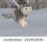 Snowy Owl Taking Off In Winter...