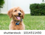 Cute Golden Doodle Puppy With...