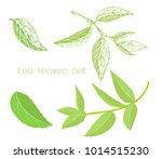set of tea tree leaves.   Shutterstock .eps vector #1014515230