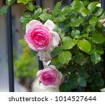 beautiful pale pink heritage...   Shutterstock . vector #1014527644