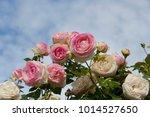 beautiful pale pink heritage...   Shutterstock . vector #1014527650