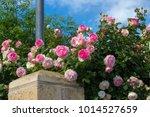 beautiful pale pink heritage... | Shutterstock . vector #1014527659
