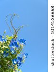morning glory or ipomoea is... | Shutterstock . vector #1014536668